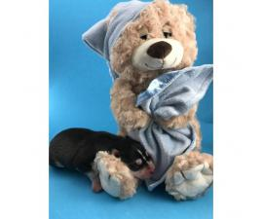 AKC Husky Puppies