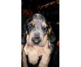 AKC/UKC bluetick coonhound girl