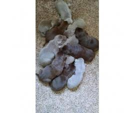 AKC Registered Silver Lab Puppies for Sale