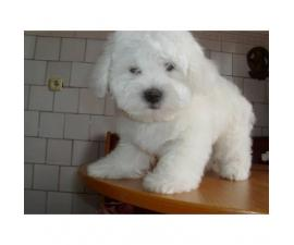 2 adorable Coton De Tulear Puppies for sale