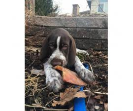 German Wirehaired Pointers Puppies Sale