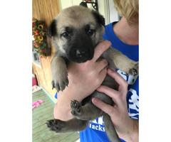 6 Malinois  puppies available