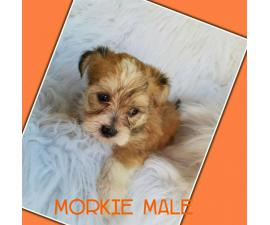 Morkie puppies ready for there good forever homes