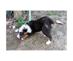 Texas Heeler puppy for sale