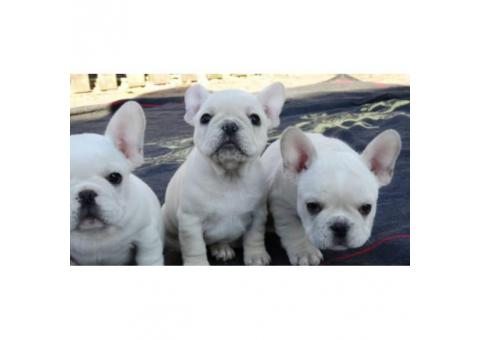 Beautiful white color 3 French Bulldog puppies