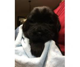 AKC Newfoundland puppies for sale - 3 Left