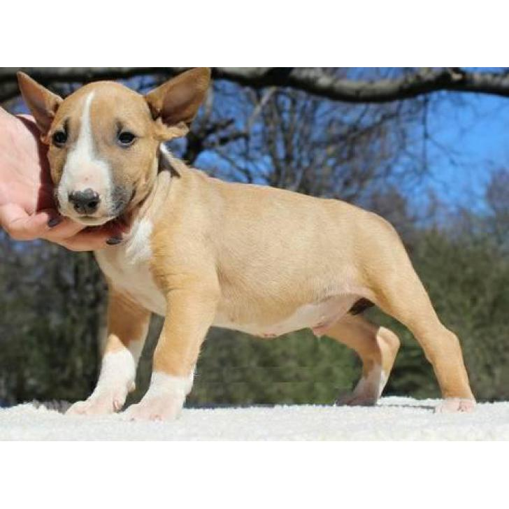 Brown Amp White English Bull Terrier Puppies For Sale In Las Vegas Nevada Puppies For Sale Near Me