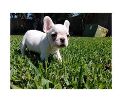 French Bulldog Puppies AKC reg