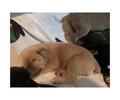 6 Cane corso puppies left