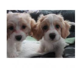 CAVACHON hybrid designer breed puppies for sale