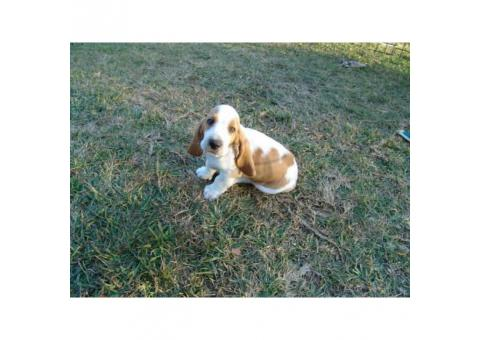 Basset hound puppy only one male left