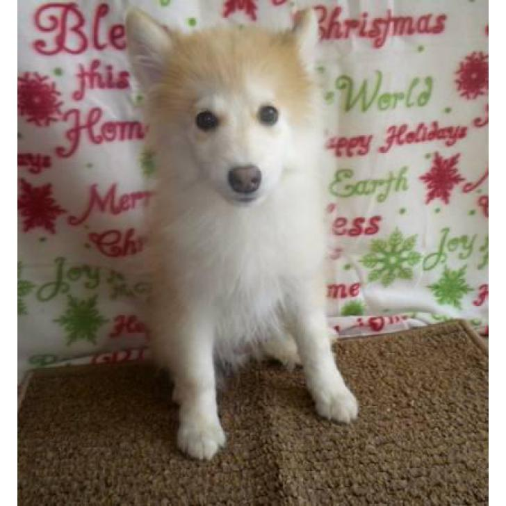 12 week old male pomsky puppies available in Rochester , New
