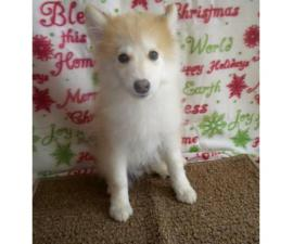 12 week old male pomsky puppies available