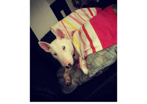 female bull terrier puppy for sale