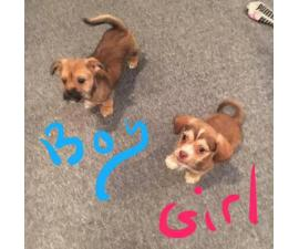 10 weeks old Chiweenie Puppies for Sale