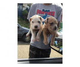 Pit bull puppies with registry papers