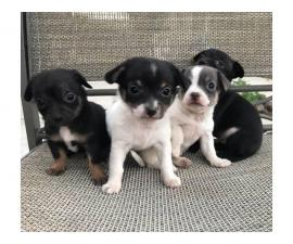 2 months old Chiweenies looking for caring homes