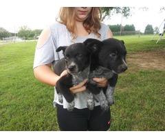 7 weeks old Blue heeler puppies