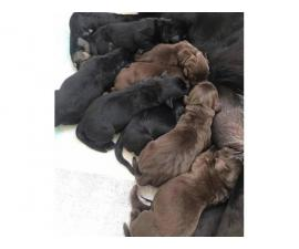 6 weeks old full breed lab puppies to be rehomed
