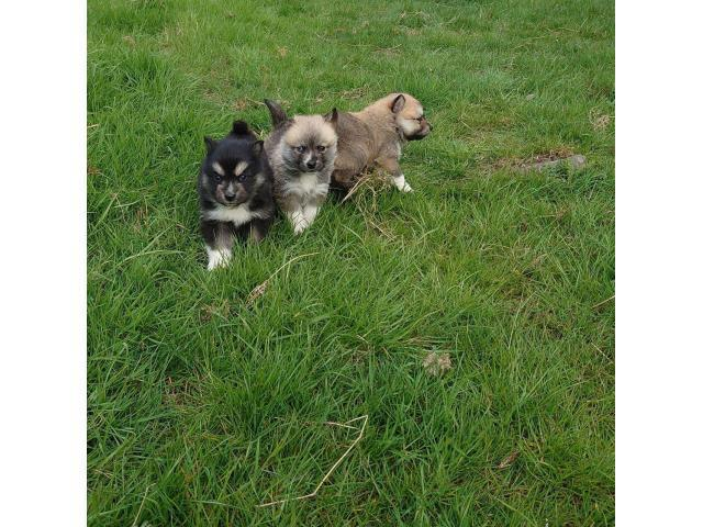 Pomsky Puppies In Adkins Texas Puppies For Sale Near Me