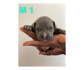 Two American bully boy puppies for sale