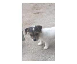 Stunning Very Rare Jack Russell Puppies