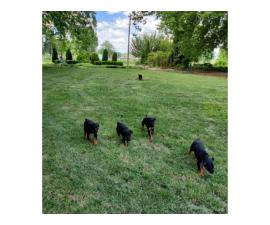 8 weeks old Rottweiler puppies