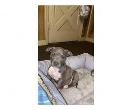 12 weeks old Female Full blooded pitbull puppy need a good home