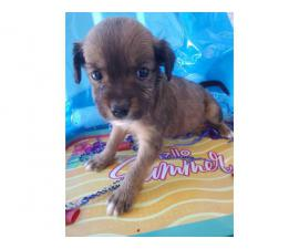 Two months old Shiranian puppy for sale