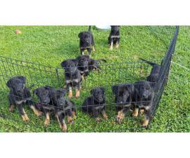 Full blooded German Shepherd Puppies 1 male, and 5 females