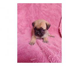 Purebred pug puppies looking for a new family