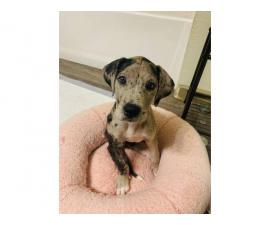 Sweet Great Dane merle puppy looking for good home