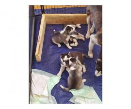 Litter of 4 purebred AKC Husky puppies