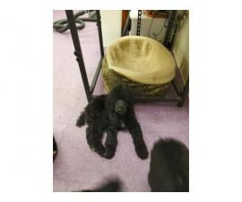 AKC pure bred 10 weeks old standard poodles for sale