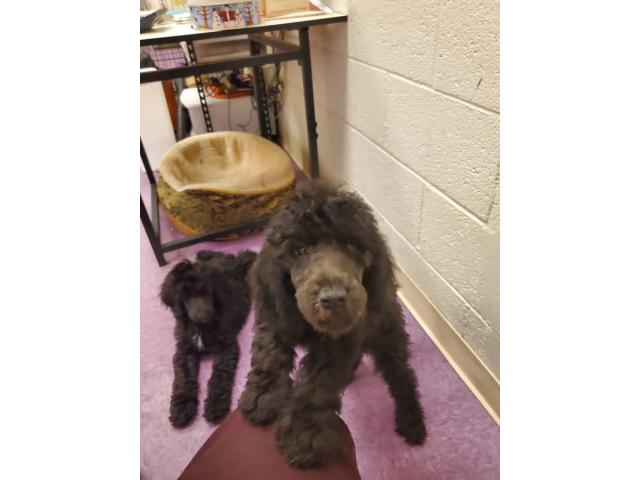 Akc Pure Bred 10 Weeks Old Standard Poodles For Sale In Tucson Arizona Puppies For Sale Near Me