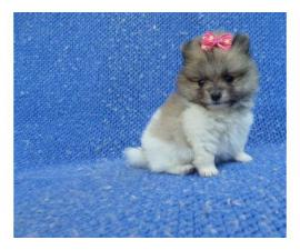 3 Pomeranian puppies in need of a new home