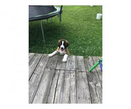 One female Saint Bernard puppy ready for new home