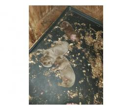 AKC lab puppies litter