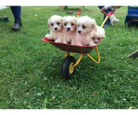 Covachon puppies for sale