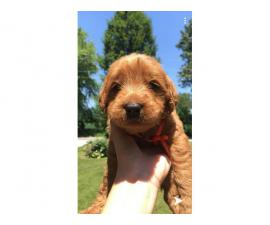 Six males and four females labradoodle pups for sale