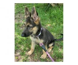 15 weeks German shepherd puppy for a good home