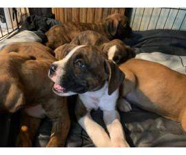 Full-blood boxer puppies to be rehomed