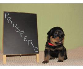 4 males and 4 females Rottweiler puppies for sale