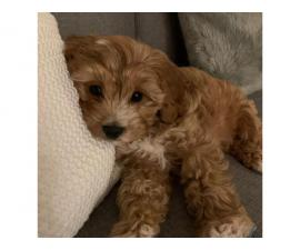 Male f2 cavapoo puppy for sale