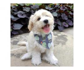 Beautifull Maltese male and female Puppy Kc Registered