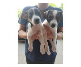 2 toy rat terrier pups ready for their good home