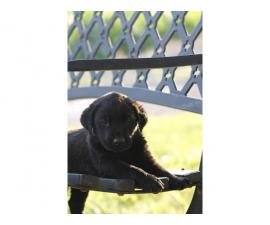 8 females and 3 males lab puppies for sale