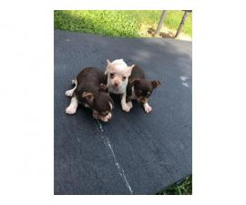 7 weeks old male and female chihuahua puppies