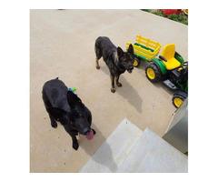 AKC Sable and solid black German Shepherd Puppies