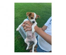 Full-bred chihuahua puppies up for sale